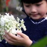 Hoa phượng trắng độc đáo ở Đà Lạt