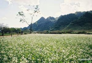 Cánh đồng hoa cải ở bản Pa Phách