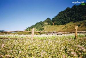 Hoa cải lung linh dưới nắng đông