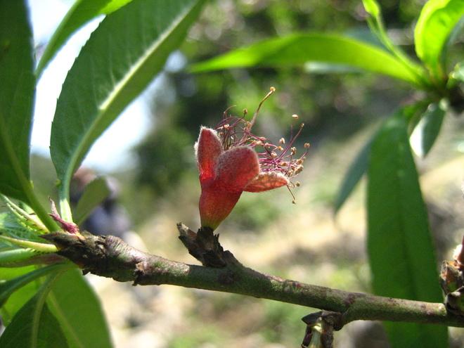 Hoa đào Mộc Châu