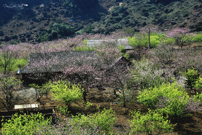 Hoa đào nở trong bản làng