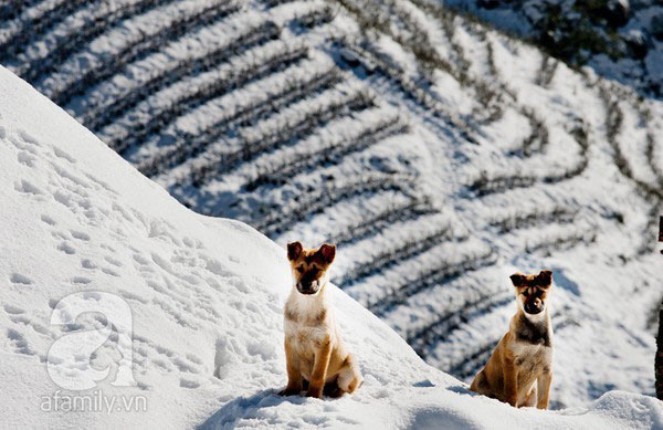 Ruộng bậc thang Sapa phủ tuyết trắng
