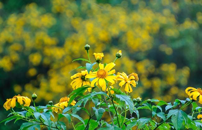 Hoa dã quỳ là biểu tượng của Mộc Châu trong lòng du khách